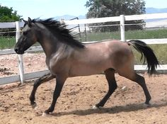 """""""Dun Got It All"""" (Dunny) Bay Dun Missouri Fox Trotter stallion, owned by Demille Foxtrotters~~ possible mate for Kachina"""