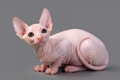 hairless siamese cats - Google Search
