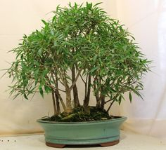 Ficus Forest Bonsai, Multiple trees in one pot to create a forest bonsai look!