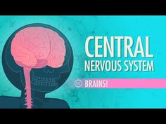Central Nervous System: Crash Course A&P #11 by thecrashcourse: Today Hank talks about your central nervous system, how your brain develops, and how important location is for each of your brain's many functions. Support at: http://patreon.com/crashcourse