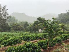 Cafés especiais estamos dando um trato especial ao Cafezal da Florença. Os resultados já estão surgindo, o cafezal está se desenvolvendo tão bem que, com apenas 11 meses de plantio já tivemos uma florada e grãos estão se formando.