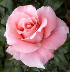 Dreamy – Famous Last Words Beautiful Rose Flowers, Love Rose, Flowers Nature, Exotic Flowers, My Flower, Flower Art, Beautiful Flowers, Beautiful Beautiful, Pink Roses