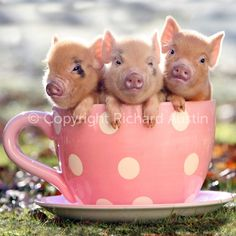 3 little piggies!  So stinkin' cute! I want to have a teacup micropig one day.  They are too precious!