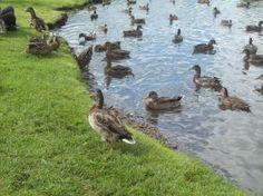 Ducks are really cute - http://newplacesnewexperiences.wordpress.com/