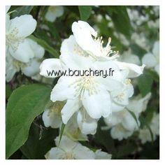 PHILADELPHUS Manteau d'Hermine / SERINGAT MANTEAU D'HERMINE 1 m. Caduc. Croissance très rapide en tous sols, même humides. Compact, petites fleurs blanches odorantes. Exposition ensoleillée.