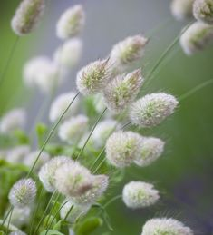 As its name describes, miniature rabbits' tails, ideal to use as an upper-storey in any cut flower bunch and container.