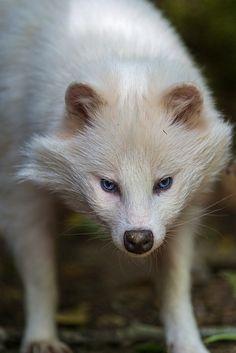 White raccoon dog looking careful by Tambako the Jaguar, via Flickr