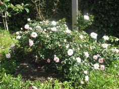 22 Best Roses Images Plants Rose Shrubs