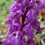 orchys mascula visible au printemps. il existe 4 espèces d'orchidées sauvages à Roque Rouge ...