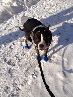 Our bully Nikki braving the cold Chicago winter!