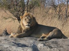 Xanda is the dominant male of the Ngamo Pride on the Linkwasha Concession Hwange, Zimbabwe Reptiles, Mammals, Black Lion, Zimbabwe, Beautiful Creatures, Conservation, Lions, Wilderness, Safari