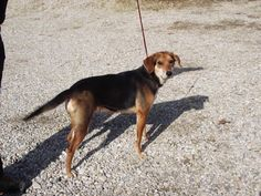 Meet BEATRICE, a Petfinder adoptable Beagle Dog | Circleville, OH | Beatrice is a female Beagle mix about 2 years old. She is people friendly but does not like some...