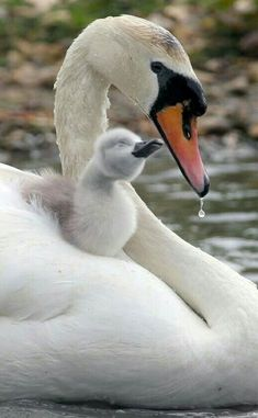 "Momma Swan & her 'swanling'? Okay, Google Now...                       'The male swan (the cob) helps the female (pen) look after their babies, (cygnets, derived from the Latin word for swan, ""cygnus"") until they are a year old. The young don't spend more than one day in the nest once they hatch.'"