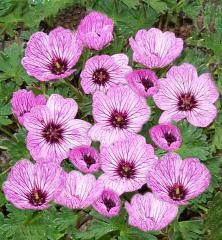 Geranium cinereum 'Ballerina' 2020 Botanus - for front yard Liriope Muscari, Crocosmia, Bulb Flowers, Pink Flowers, Geranium Vivace, Trumpet Lily, Paeonia Lactiflora, Hardy Geranium, Oriental Lily