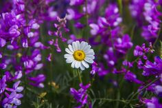 Lonely Daisy - This lonely daisy was so happy as it was posturing for me