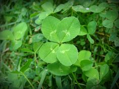 Wild Birds Unlimited: What are shamrocks? Monday, March 2014 What do the 4 leaves on clover symbolize? Leave In, Science Of Love, Lucky Symbols, Four Leaves, Pot Of Gold, Four Leaf Clover, Weed, Plant Leaves, Things To Come