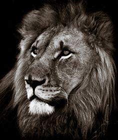 Lion at Kruger Park - (by Christopher Rimmer)