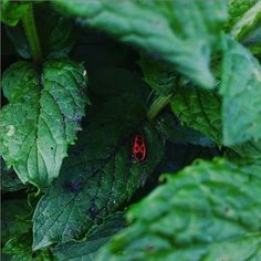 cottage garden, u nás na chalupě, country side, farm living, gardening, growing, vegetable, slow living Farms Living, Slow Living, Beetle, Plant Leaves, Mint, Cottage, Gardening, Vegetables, Country