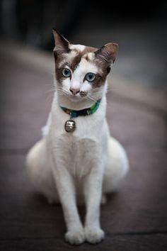 Cute Cat (by seua_yai)