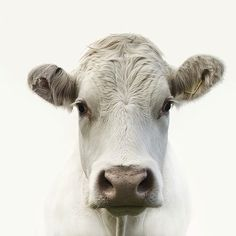 beautiful, gentle face, never thought I say that about a cow