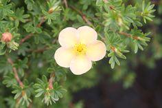 POTENTILLA fruticosa 'Daydawn' Plants