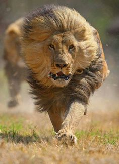 Sighted!!! On the wrong end of the male lion's charge. His role is to protect the Pride.