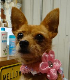 Foxy Chihuahua & Wirehaired Terrier Mix • Adult • Female • Small H.E.L.P Shelter Dog Rescue Waupaca, WI
