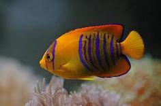 peces exoticos