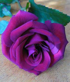 Rare rose (wonderous world)