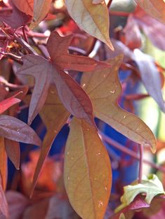 You can't beat these fast-growing shade plants for bold summer color. Sweet potato vine produces bronze, purple, or chartreuse foliage. Plants For Shady Areas, Best Plants For Shade, Shade Garden Plants, Blue And Purple Flowers, Shade Flowers, Colorful Flowers, Double Impatiens, Shade Annuals, Potato Vines