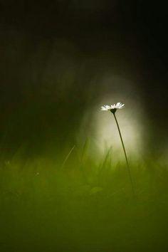 """A tiny star"" photography by Rikard Olsson ✿⊱╮ Daisy, Star Photography, Tiny Star, In The Tree, Olives, Shades Of Green, Flower Power, Wild Flowers, Fields"