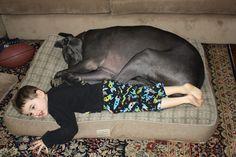 Let's share! Great Danes love #LLBean dog beds. Photo via L.L.Bean fan Annette I.