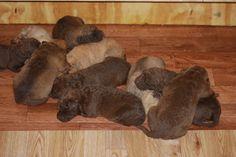 Ellis Farms Chesapeake Bay Retriever - Zoe's litter, Nov. 2013 Labrador Mix, Muddy Waters, Chesapeake Bay, Farms, Puppy Love, Cute Animals, Puppies, Pets, Crafts