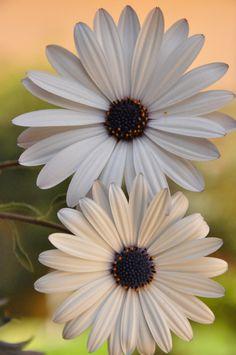 Gerberas        Flores I       Flores II