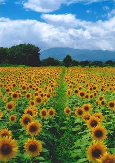 6 Beautiful Sunflower Fields in Japan | Kyuhoshi #Japan #travel #guide #japantravel #TheRealJapan #Japanese #howtotravel  #vacation #trip #explore #adventure #traveltips www.therealjapan/com Sunflower Patch, Sunflower Garden, Sunflower Fields, Japanese Countryside, Sunflower Pictures, Greenhouse Growing, Seasonal Flowers, Different Flowers, Japan Travel