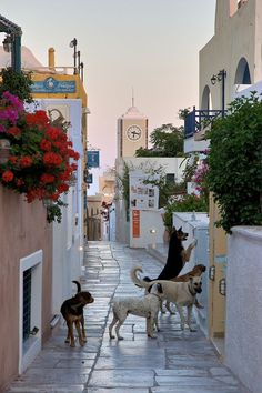 Dogs in an early summer morning, streets of Oia, Santorini Island, Greece Santorini Island, Santorini Greece, Beautiful Islands, Beautiful Beaches, Greek Isles, Fauna, Heaven On Earth, Greece Travel, Wonders Of The World