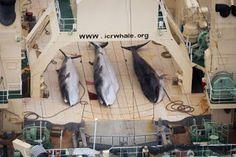 """""""O GRITO DO BICHO"""": Caça à baleia: Japão volta às caçadas e hackers de..."""
