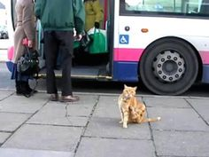 Not satisfied to merely roam close to home like a regular cat, Artful Dodger has taken to hopping on and off public transport at the bus station near his house.  The 15 year old cat waits at the bus stop for the bus to arrive and then travels the 10 mile round trip to neighboring Charmouth so often, that the drivers started bringing in tins of cat food to work. They even know what stop to let him off at.  And so relaxed is the dodger on his travels he often falls asleep on the laps of…