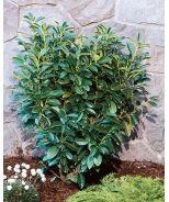 Dwarf Mountain Laurel - evergreen, small