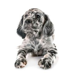 Stock Photo: puppy english setter in front of white background Free Puppies, Dachshund Puppies, Baby Puppies, Dogs And Puppies, Dalmatian Dogs, Doggies, Cut Animals, Baby Animals, English Setter Puppies