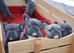 OMG, a Red Wagon Full of Blue French Bulldog Puppies, ❤.