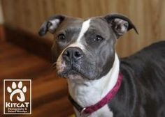 Mona Mia is an adoptable Pit Bull Terrier Dog in Westford, MA. Meet Mona! Mona is a gorgeous blue and white 2 year old Pit Bull Terrier. She is a small compact girl weighing in around 50 lbs. She came...