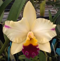 Odom's Orchids, Inc. - Lc. Tokyo Magic x Slc. (Circle of Life x Tropical Sunset)., $15.00 (http://www.odoms.com/lc-tokyo-magic-x-slc-circle-of-life-x-tropical-sunset/)