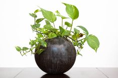 The marbled leaves of Golden Pothos are an attractive feature, but the true value of this plant is in the way it purifies your home's air.