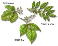 Poisonous Plants Utah Poison Ivy Treatment And Remes Kill