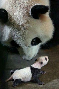 Mama panda w baby panda (: