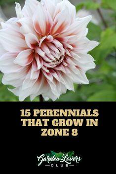 15 Perennials that Grow in Zone 8 blooming Perennials maintenance Perennials full sun ideas Long Blooming Perennials, Best Perennials, Hardy Perennials, Perrenial Flowers, Flowers Perennials, Planting Flowers, Shade Flowers, Shade Plants, Cool Plants