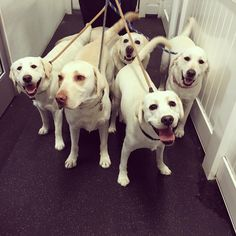 Waffles, Milo, Jack, Zoey, and Lulu all set for their walk! #whitelabs #labs #labradorretrievers #happyasever