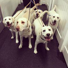 Waffles, Milo, Jack, Zoey, and Lulu all set for their walk! #whitelabs #labs #labradorretrievers #happyasever