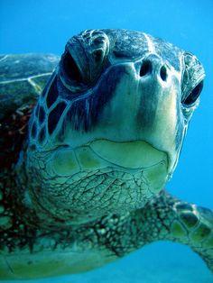 Underwater photo of a Hawaii Turtle Beautiful Creatures, Animals Beautiful, Cute Animals, Photo Animaliere, Turtle Love, Underwater Life, Ocean Creatures, Tier Fotos, Sea World